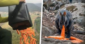 Lanzan miles de zanahorias y papas a animales sobreviviente de incendios en Australia