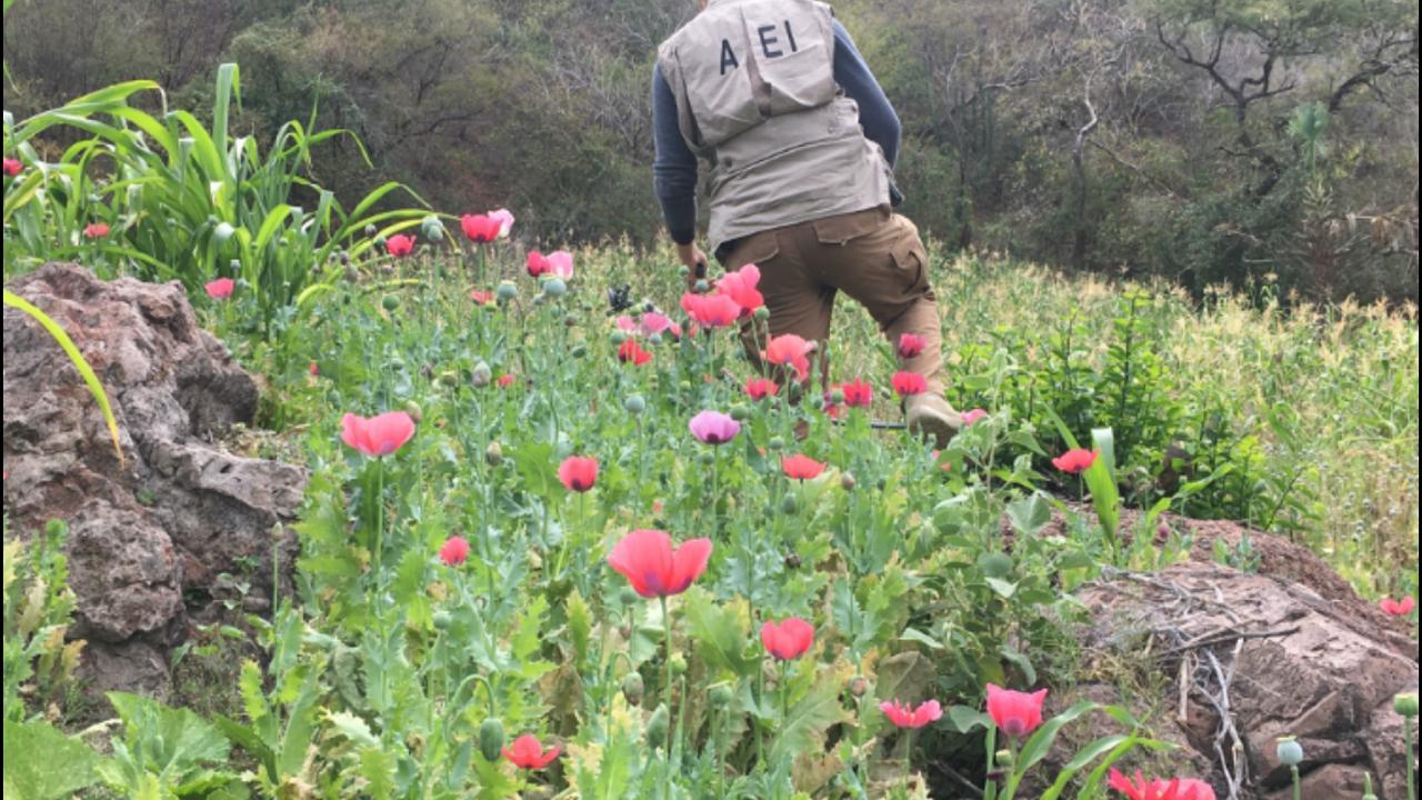 Destruye AEI Zona Sur 6 mil plantas de amapola en Guadalupe y Calvo