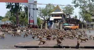 Efecto Coronavirus: Cientos de monos invaden calles de Tailandia en busca de comida