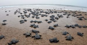 Vuelven tortugas a playas de la India ante ausencia humana por cuarentena