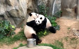 Cuarentena de COVID19 ocasiona apareamiento natural de pareja panda en Hong Kong