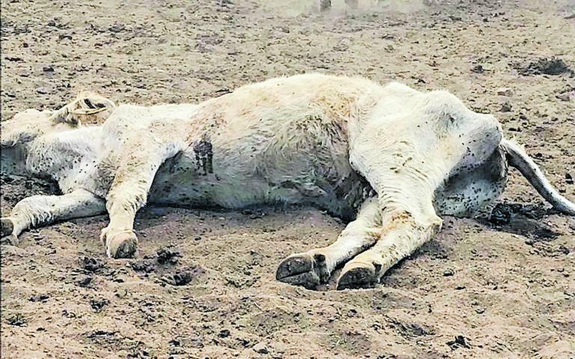 Señala Chaparro ineptitud de Corral por muerte de ganado por hambre y sed en ranchos confiscados de Duarte