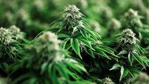 Impediría Cannabis entrada del COVID19 al cuerpo humano
