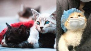 Gatos podrían ser asintomáticos a COVID-19 y contagiar a humanos