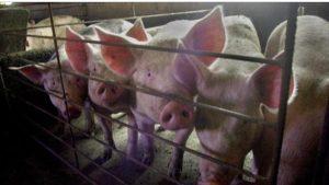 Descubren en China un nueva cepa de la gripe con «potencial pandémico»