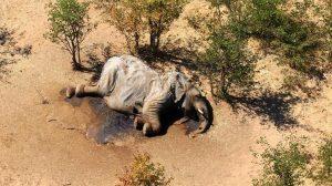 Misteriosa muerte de elefantes en Botsuana enciende alarmas