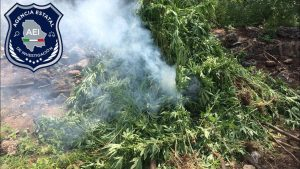 Destruyen plantío de marihuana en Guadalupe y Calvo