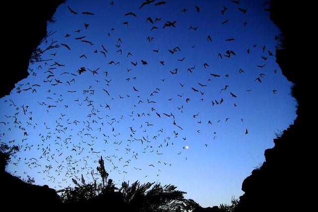 Investigan si murciélagos de Aquiles Serdán son portadores del Covid-19