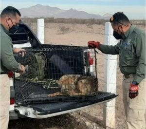 Rescatan Guardianes Ecológicos a coyote atropellado en el Libramiento Oriente